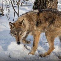 Молодой волк :: Татьяна Симонова