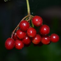Красные ягоды калины :: Сергей Тагиров