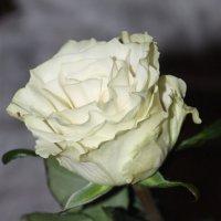 Весенний парад начинается: равнение на розы! :: Tatiana Markova