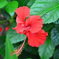 Цветы Бали - гибискус :: Дмитрий Боргер