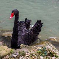 Лебедь :: Георгий Вапштейн