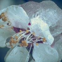 цвет абрикосы в снегу :: Максим