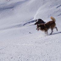 Горная собака(Эльбрус) :: Серж Поветкин