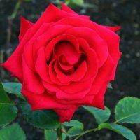 Праздничная роза :: Вера Щукина
