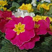 Примула – самый первый, яркий, разноцветный весенний цветок. :: Galina Dzubina