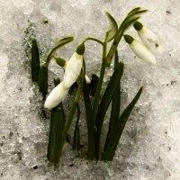 сквозь снег :: Леонид Натапов