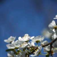 Алча цветёт :: Ксения Магина