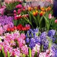 Гиацинты и тюльпаны :: Владимир Болдырев