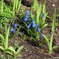 Голубоглазая весна :: Нина Бутко