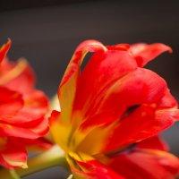 тюльпаны :: Julia
