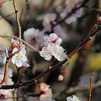 Абрикос цветёт 6 :: Валерий Дворников
