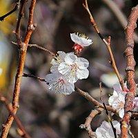 Абрикос цветёт 4 :: Валерий Дворников