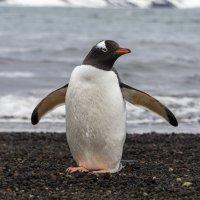 Пингвин :: Alexey alexeyseafarer@gmail.com