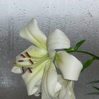 лилии цветут :: tgtyjdrf