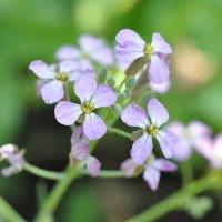 Фиолетовый цветок :: Сергей Тагиров