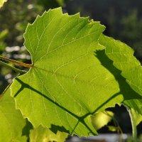 Лист винограда на солнце :: Сергей Тагиров