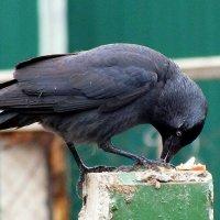 поедание украденного у голубей :: Александр Прокудин