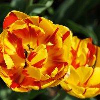 Фестиваль тюльпанов :: Елена Павлова (Смолова)