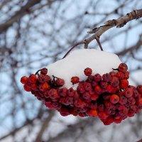 Снег на рябине :: Canon PowerShot SX510 HS