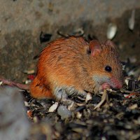 Мышка-норушка под птичьей кормушкой. :: Елена Шел