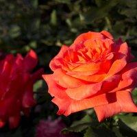 Розы в маррте с утренней росой :: Александр Деревяшкин