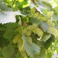 Запах цветущего винограда изумительнейший. :: Вячеслав Медведев