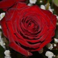 Роза :: Наталья Мельникова