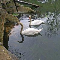 Лебеди :: Виктор Шандыбин