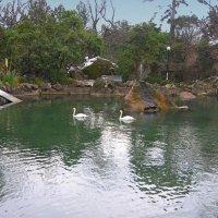Лебеди на пруду :: Виктор Шандыбин