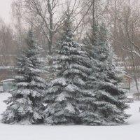 Елочки в феврале :: Дмитрий Никитин
