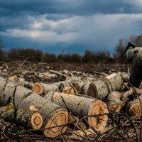 Вырубка леса :: vitali bezushka