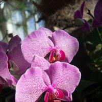 Орхидея :: Вера Бокарева