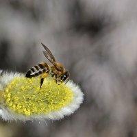 Весна.... пчелка трудится... :: Ирина Рассветная
