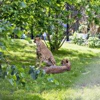 Пара гепардов :: Андрей Исаев