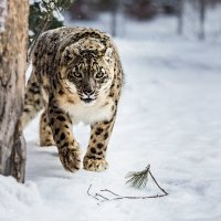 Снежный барс :: Nn semonov_nn