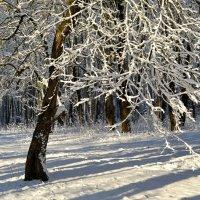 Хрустальным стало дерево от снегопада :: Милешкин Владимир Алексеевич