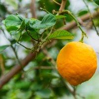 Мы следили за лимоном, каждый листик берегли... :: Виктор Куприянов