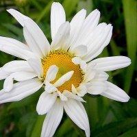 цветы :: Ivana