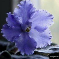 про цветы-фиалка :: Олег Лукьянов