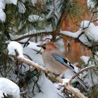 Сойка в зимнем лесу.. :: Hаталья Беклова