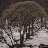 Призрак дерева :: Людмила Синицына