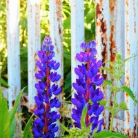 Фиолетовая парачка и жгучая крапивка :: Александра Полякова-Костова