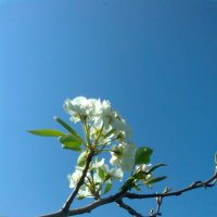 Цветы груши :: Вячеслав Медведев