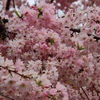 Цветение сакуры :: Светлана
