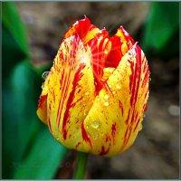 ЛОЛА(так в Узбекистане называют тюльпаны) :: Юрий Владимирович