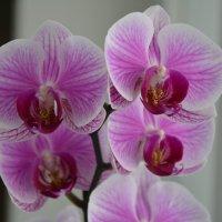 орхидея :: ~Таня ~