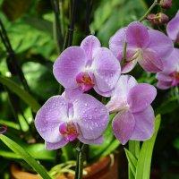 Орхидеи :: Леонид Иванчук