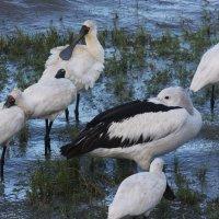Пеликаны и колпицы :: Антонина
