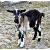 У козы у Марты день рожденья в марте. :: Валентина ツ ღ✿ღ