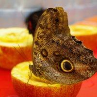 бабочка - совиный глаз :: Ксения смирнова